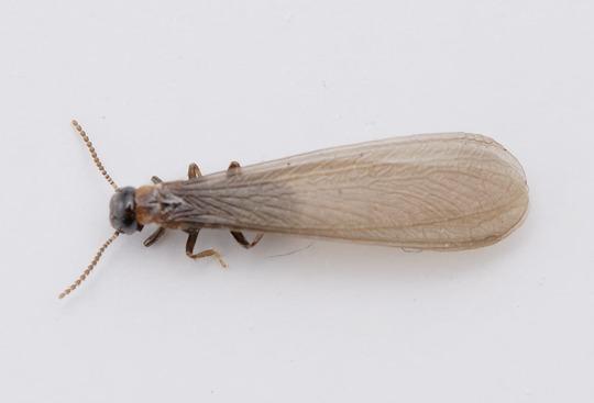 発生 アリ 蟻 大量 黒 羽